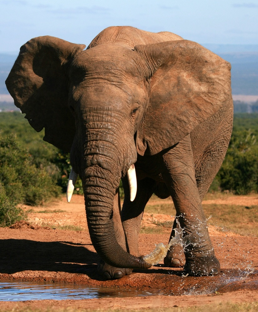 """Humans first guessed that elephants used infrasound when a scientist named Katy Payne visited elephants in a zoo and felt the air around the elephants """"throbbing"""" with vibrations. Payne named the elephants' infrasonic calls """"silent thunder."""" (Jonathan Pledger/ Shutterstock)"""