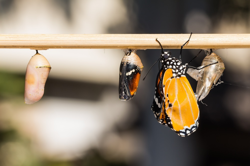 As the butterfly forms inside the chrysalis, its wings begin to show through the shell. When the adult butterfly breaks free—leaving just a pale husk behind—it must dry its wings before taking flight.  (Matee Nuserm/ Shutterstock)