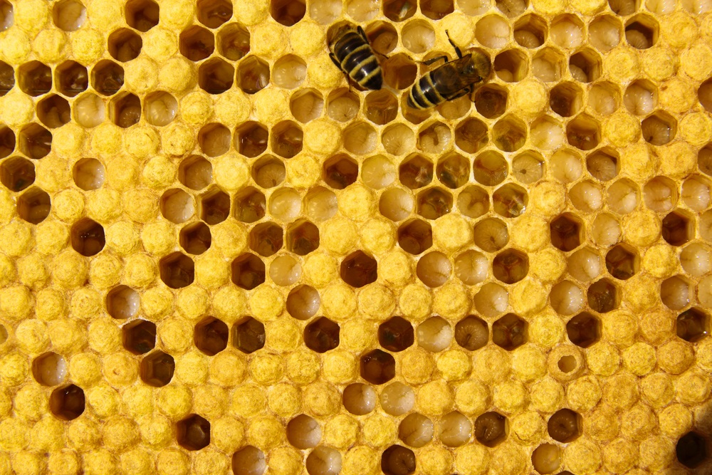 "The queen bee lays one egg in each of several cells. When the eggs hatch, the larvae are fed by adult worker bees (shown here). The larvae get a diet of ""royal jelly"" (a high-protein liquid produced by the adult bees) and ""bee bread"" (honey mixed with pollen). When the larvae have gone through five molts and grown over 1,000 times their original size, the adults will cap their cells with pollen and beeswax. Once the metamorphosis is complete, the new adult bees will chew their way out of their cells. (Lehrer/ Shutterstock)"