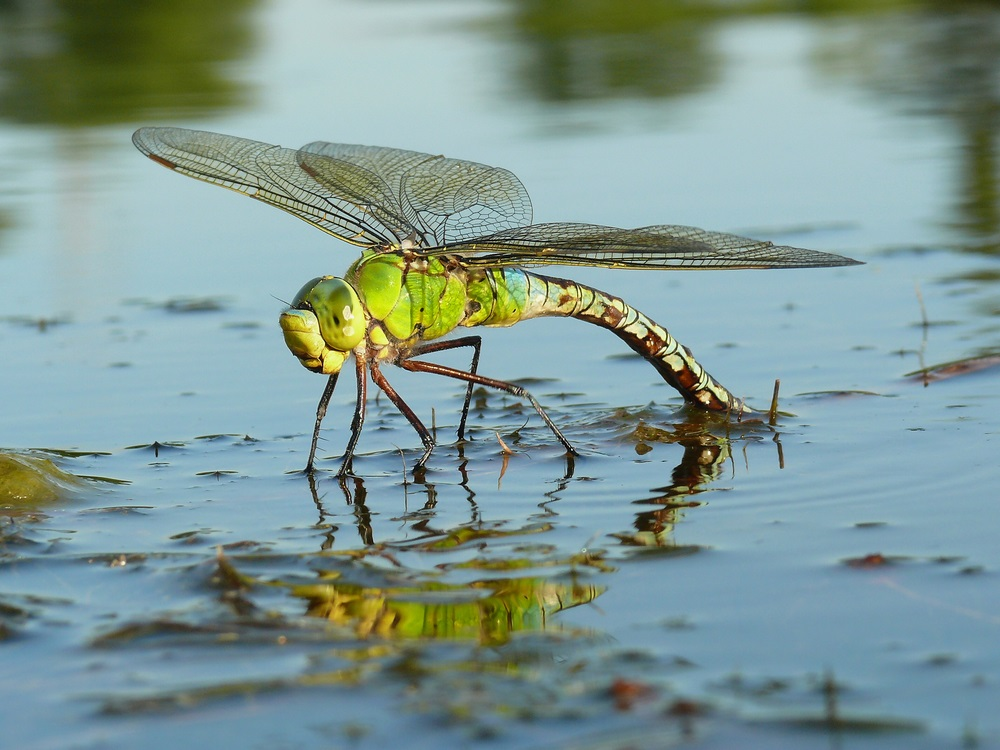 Adult dragonflies lay eggs in fresh water. After hatching, dragonfly nymphs may live for a few weeks or even a few years under water before emerging and becoming adults. (Petr Podrouzek/ Shutterstock)