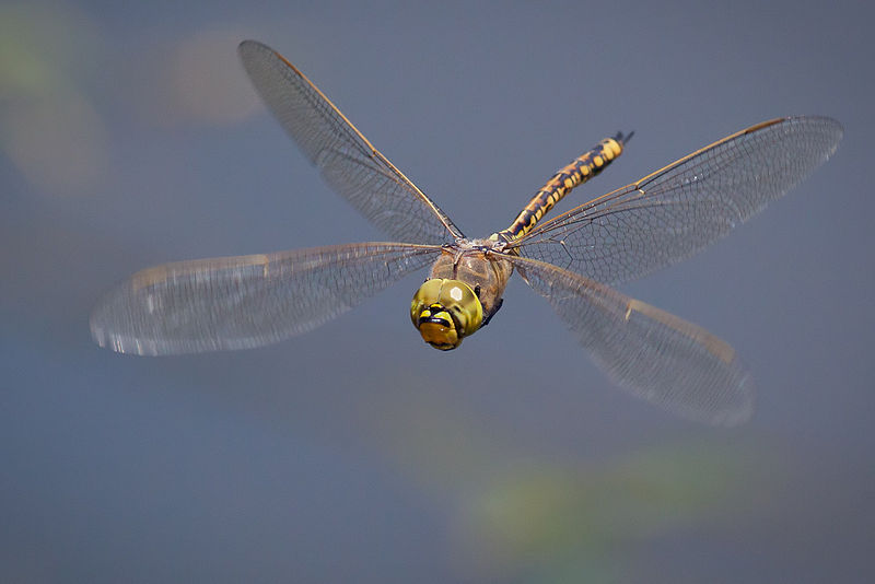 Dragonflies can fly forwards and backwards, up and down, and they can twist and turn or hover like helicopters. They're speedy too, having been clocked at speeds up to 36 miles per hour. (Image via Wikipedia)