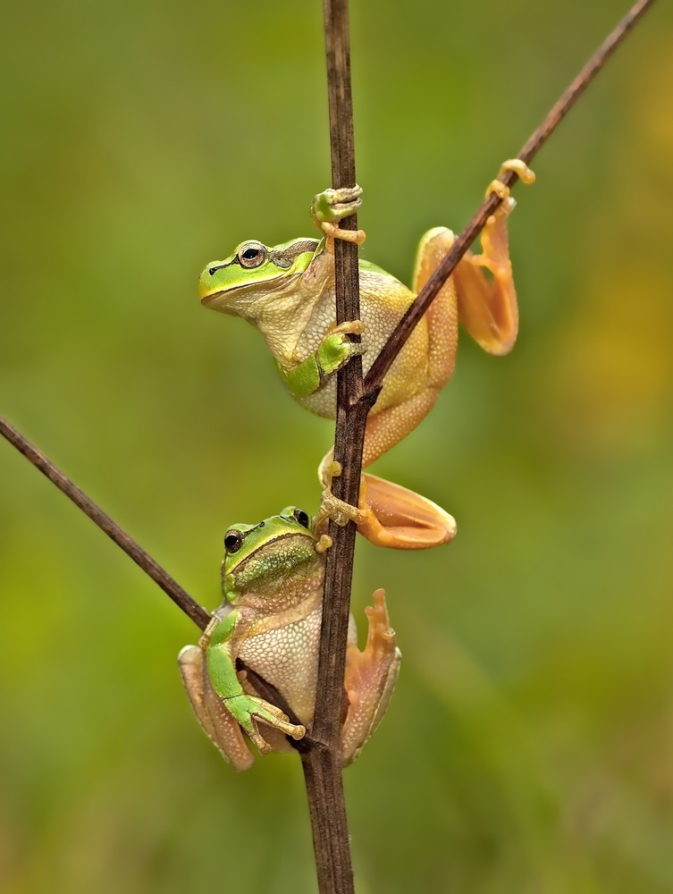 All grown up, these two adult frogs have muscular legs and mouths that are as wide as their heads. As adults, they dine almost exclusively on insects. (Eduard Kyslynskyy/ Shutterstock)