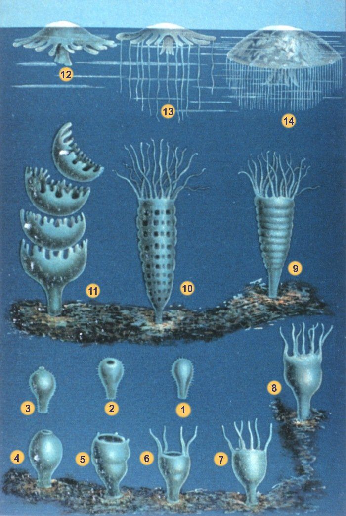 "This chart shows the metamorphosis of a jellyfish: From stage 1 to 3, it's a free-swimming larva, called a ""planula."" At stage 4, it attaches to a surface and becomes a polyp, growing into what looks like an upside-down jellyfish. At stage 9, the polyp starts to morph, turning into what looks like a stack of disks. By stage 11, the disks are budding off as ""ephyra,"" essentially juvenile forms of the adult stage. (Image via Wikipedia)"