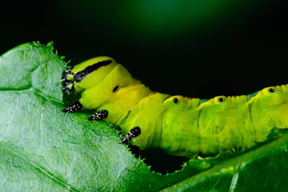 Chomp. Caterpillars like to eat. A lot. But they are very picky. Monarch caterpillars, for example, will only eat milkweed plants, and zebra swallowtails will only eat pawpaw plants. (Nopporn Chainate/ Shutterstock)