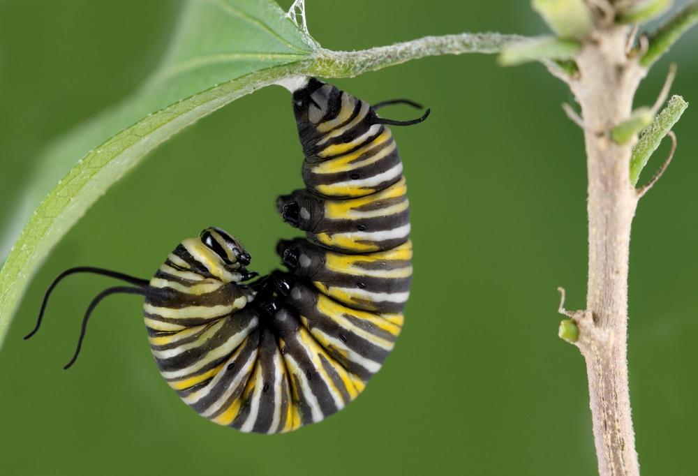 A monarch caterpillar prepares for metamorphosis. (Brandon Alms/ Shutterstock)