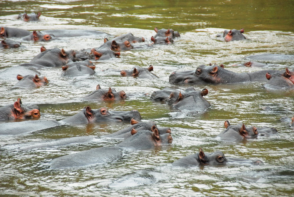 Caption: Hippos hang out on the Ishasha River in Uganda (Shutterstock).
