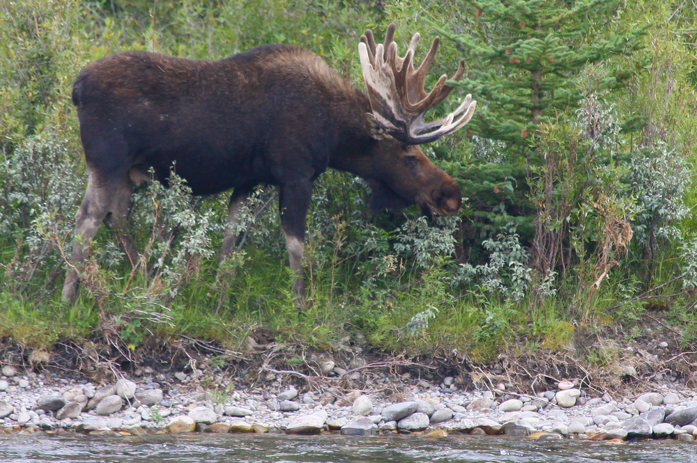 Moose rely on riverbanks and their lush vegetation for both food and shelter. (Dr. Alan Lipkin / Shutterstock)