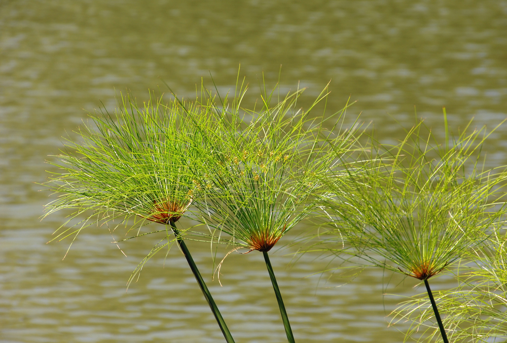 A papyrus is a bushy-topped plant that grows about ten feet tall alongside the Nile River. The stems of the papyrus were woven to make boats and huts in Ancient Egypt. They were also mashed together and flattened to make the earliest form of paper. (JoLin / Shutterstock)