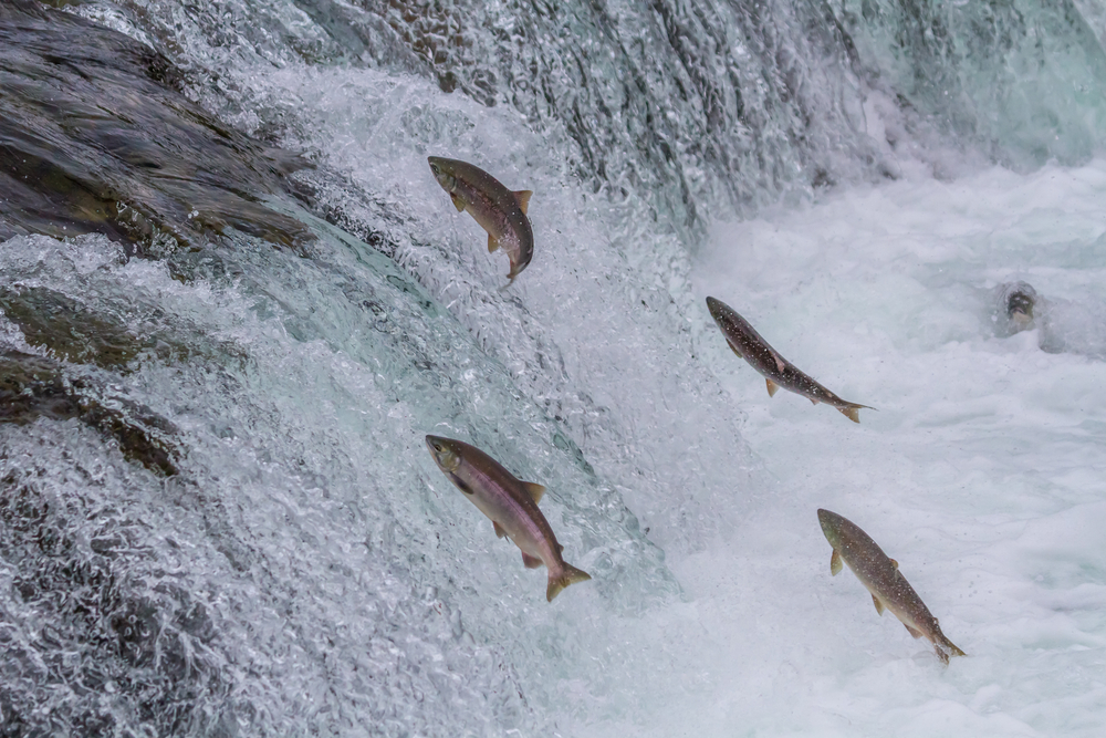 Salmon head upstream on the Brooks River in Alaska. (Sekar B. / Shutterstock)