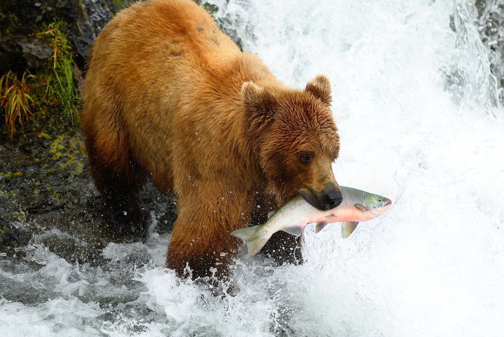 Every year, salmon return to their home rivers in the Pacific Northwest to spawn—and they are a big part of the Alaskan brown bear's diet. But returning salmon can be foiled by dams—and as a result, many rivers have no salmon left anymore, and in some rivers they are considered endangered or threatened species. (Zixian / Shutterstock)