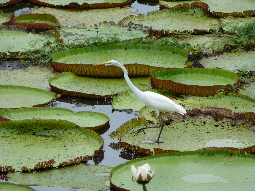 On the Rio Negro in the Amazon Basin, a great egret stands stock-still atop the world's largest lily pad (Victoria amazonica), watching and waiting to snatch an underwater snack. What's down there? The rivers of the Amazon Basin are home to 2,200 known species of fish, including piranhas, stingrays, and giant catfish. (Guentermanaus / Shutterstock)