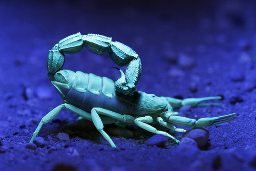 Scorpions_Flouresce