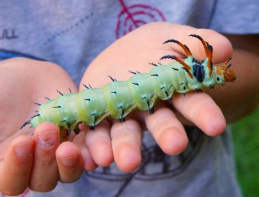 Meet the Hickory Horned Devil, a Fierce but Harmless Caterpillar