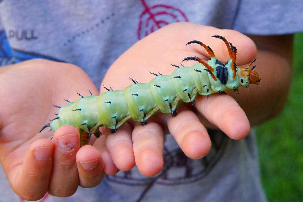 Hickory_Horned_Devil_Caterpillar