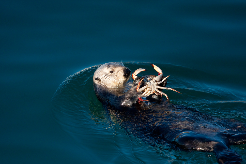 Sea otters use stones to crack open the shells of tough-to-eat sea animals like crabs and sea urchins. (Jean-Edouard Rozey / Shutterstock)