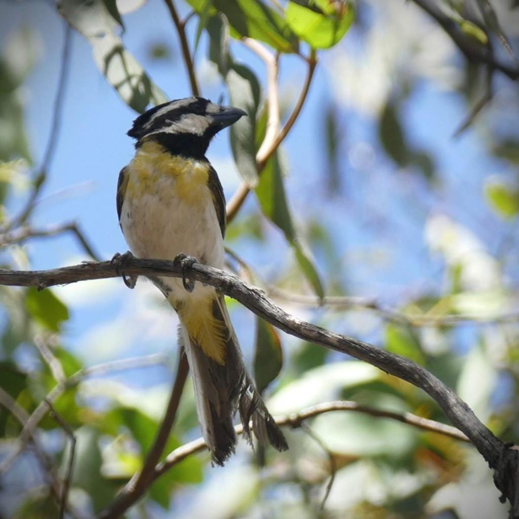 A bonus Crested Shrike-Tit photographed by Stryker