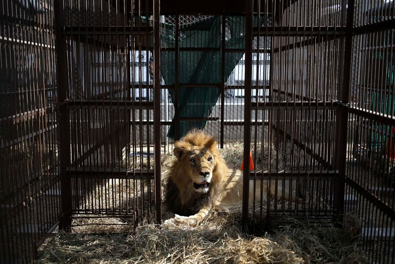 A former circus lion leaving Peru. Photo by Martin Mejia/AP via the New York Times