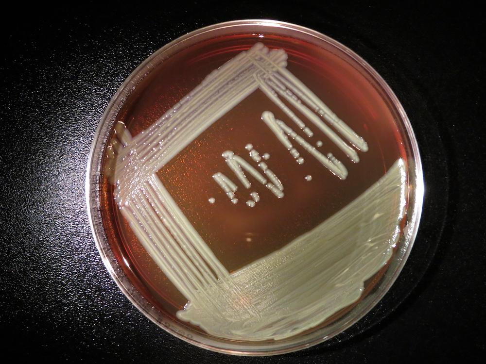 elizabethkingia-anophelis-plate-2