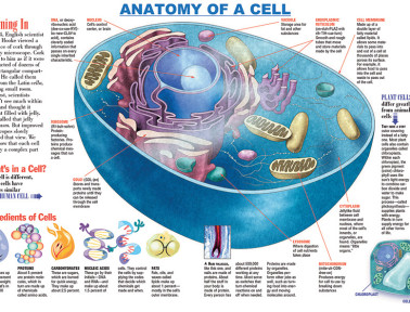 Infographic: Anatomy of a Cell