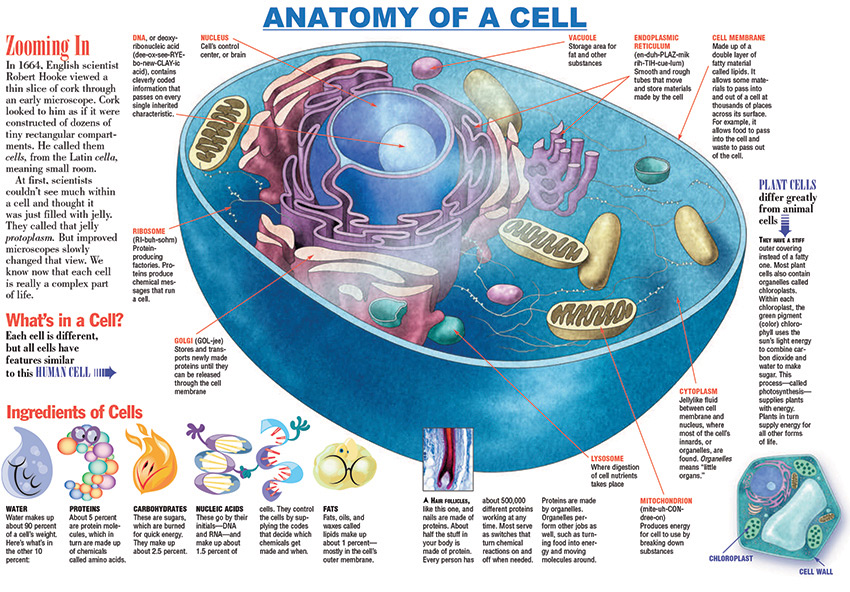 plant cell anatomy quiz with Infographic Anatomy Of A Cell on Animal Cell Diagram in addition Italybwquiz in addition Science Education Resources further Xylem additionally Blank Animal Cell Diagram 1.