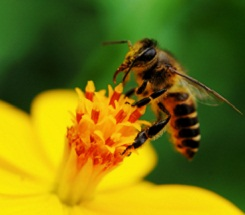 Honeybees: Where's the Buzz?