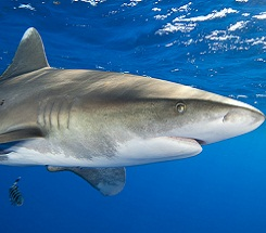 Lesser Known Sharks of the World