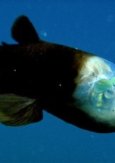 Pacific Barreleye: Fish With a See-Through Head