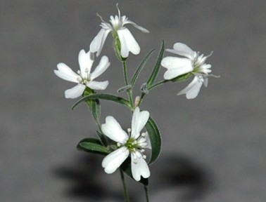 Siberia's Narrow-Leafed Campion Is a Living Fossil Flower