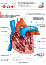 Infographic: Anatomy of the Human Heart
