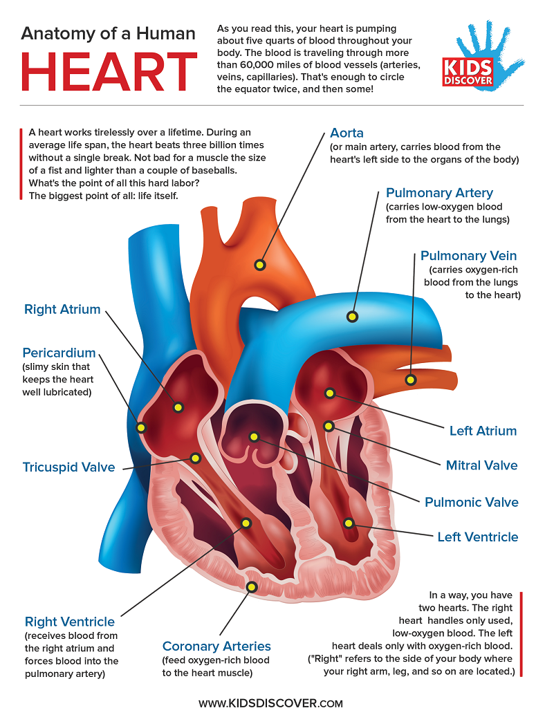 Heart Anatomy Infographic - KIDS DISCOVER