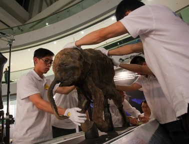 Rare Baby Mammoth Emerges from Permafrost Intact