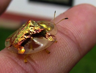 How a Gold Beetle Turns Red … and Why We Care