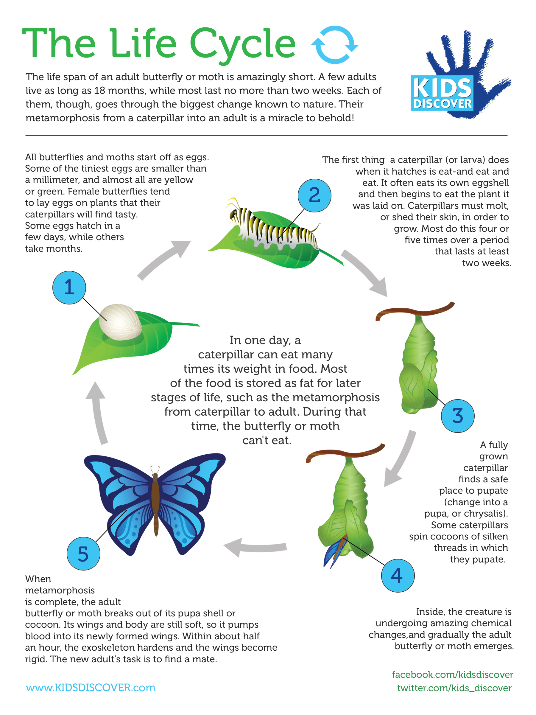 worksheet Butterfly Cycle Worksheet infographic the life cycle kids discover metamorphosis