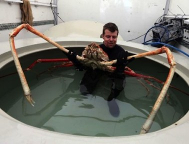 Japanese Spider Crabs: Twelve Feet of Legs