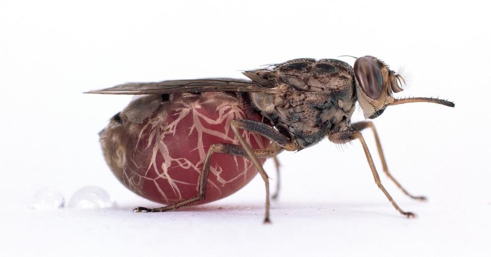 Bloodsucking flies