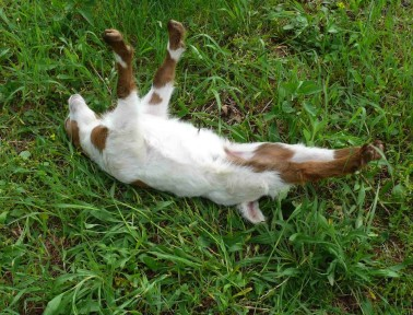 Why Fainting Goats Faint