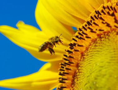 Sunflower_Project
