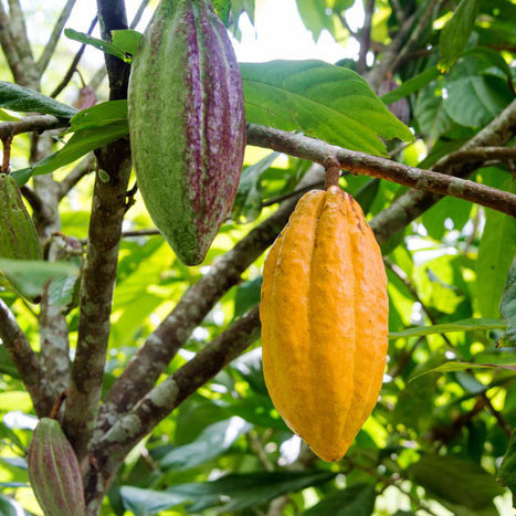 Cacao-pods-on-cacao-tree_700